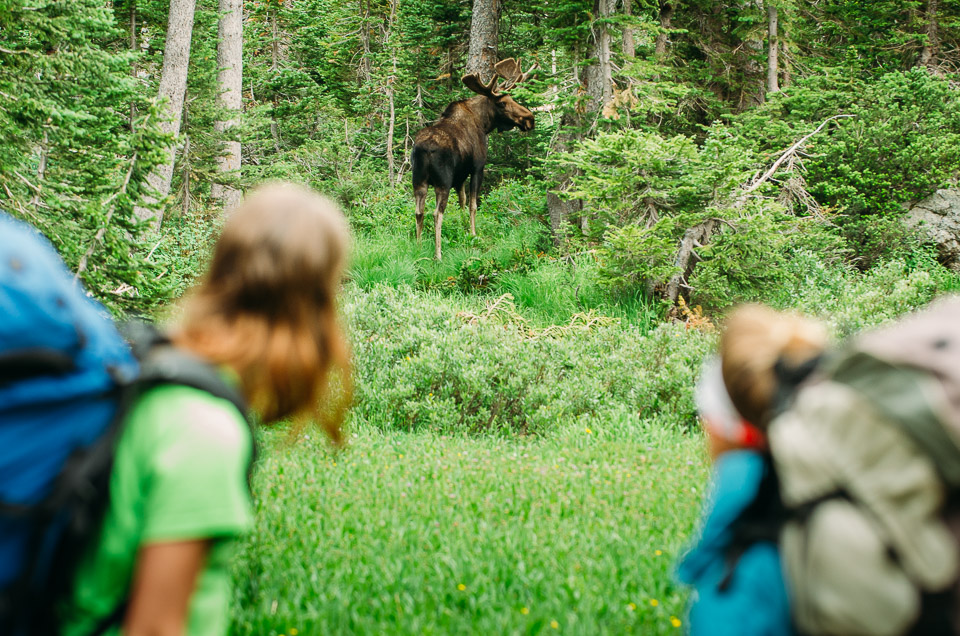 Moose in the Tetons